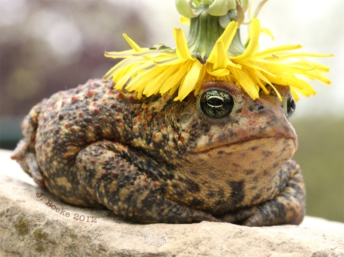 toad dandelion